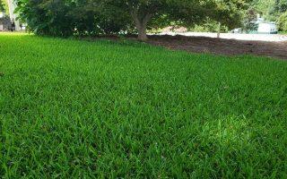 staugistine_grass2